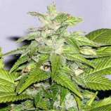Sagarmatha Seeds Early Bird Skunk