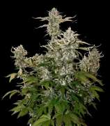 SeedStockers Candy Dawg Autoflower