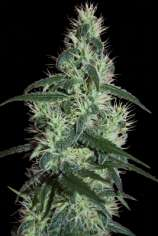 Seedmakers Seeds Blizzard