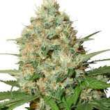 Seeds66 Candy Kush