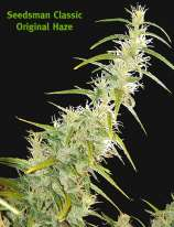 Seedsman Original Haze
