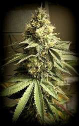 Sin City Seeds Galactic Jack