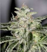 Sin City Seeds PetroleumNightmare