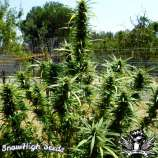 SnowHigh Seeds Holy Diver