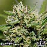 SnowHigh Seeds Pipe Dream