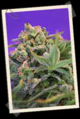 Sweet Seeds Sweet Cheese F1 Fast Version