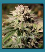 THC Development Seed Company White Fuel