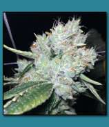 The Vault Seed Bank Skywalker OG on Fire