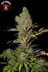 The iSeeds Super Critical