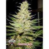 Xtreme Seeds Co. Tangerine Auto