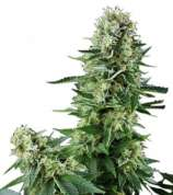 Zativo White Widow