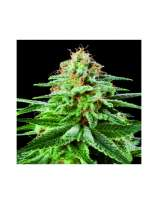 Zoo Seeds White Widow