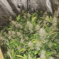 Pic for Coco Grape (2Buds Genetics)