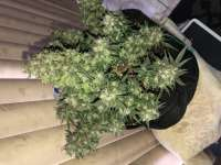Pic for Auto Black Diesel (Advanced Seeds)