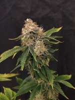 Pic for Liberty Haze (Barneys Farm)