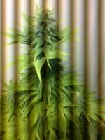 Barneys Farm Violator Kush - ein Foto von hemp47