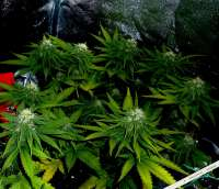 Big Buddha Seeds Cheese - ein Foto von admin