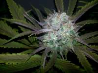 Bigdogs Seeds Collection Gonzo #2 BX1 - ein Foto von lovekush
