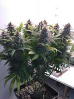 Cannabella Seed Club Strawberry Cream Pie - ein Foto von DasBo