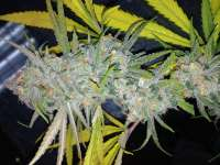 Clone Only Strains Strawberry Cough - ein Foto von DankGroen