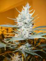 Cream of the Crop Seeds Amphetamine - ein Foto von SeedMan91