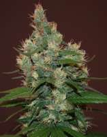 Cream of the Crop Seeds Sour Turbo Diesel - ein Foto von SeedMan91