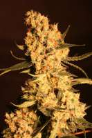 Eva Female Seeds Jamaican Dream - ein Foto von Gipsy