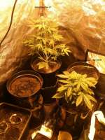 Female Seeds Auto Speed Bud - ein Foto von FreedomGarden