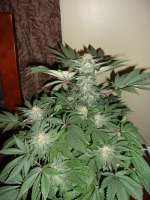 GreenLabel Seeds AK Widow 47 - ein Foto von wayniac917