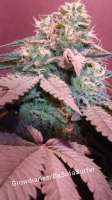 Green House Seeds Bubba Slush - ein Foto von DaSofaSurfer