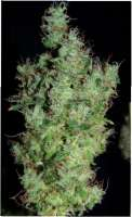 Green House Seeds Himalaya Gold - ein Foto von SativaFred