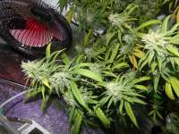Green House Seeds Super Silver Haze - ein Foto von hemp47