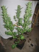 Green House Seeds Sweet Mango Automatic - ein Foto von CiliH
