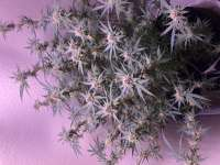 Pic for Fruit Punch (Heavyweight Seeds)