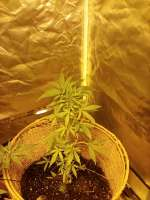 Pic for Goldmine (Heavyweight Seeds)