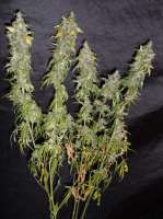 Homegrown Fantaseeds Northern Light - ein Foto von TeamAmadeus