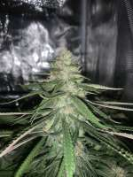 Pic for Dark Jesus (J2G Genetics)