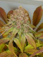 Pic for Peaceful Child (MassMedicalStrains)