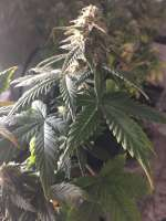 Bild von smallgrow (Auto White Widow)