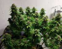 New420Guy Seeds Super Dense Auto - ein Foto von new420guy