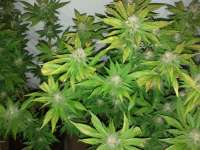 Nirvana Seeds PPP - ein Foto von Smokinaces