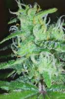 Pic for White Widow Express (Phoenix Seeds)
