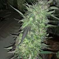 Relentless Genetics Frosted Cherry Cookies - ein Foto von christyle