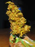 Resin Seeds Yummy - ein Foto von levelnext