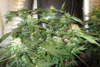 Royal Queen Seeds Blue Mistic - ein Foto von medic