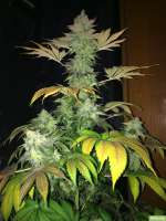 Bild von SuperS (Chocolate Haze)