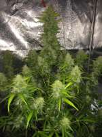 Royal Queen Seeds Easy Bud - ein Foto von RandomGrowerMG