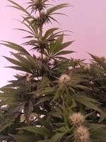 Pic for Power Flower (Royal Queen Seeds)