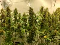 Pic for Jack Flash #5 (Sensi Seeds)