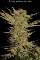 Serious Seeds Bubble Gum - ein Foto von mgpawn